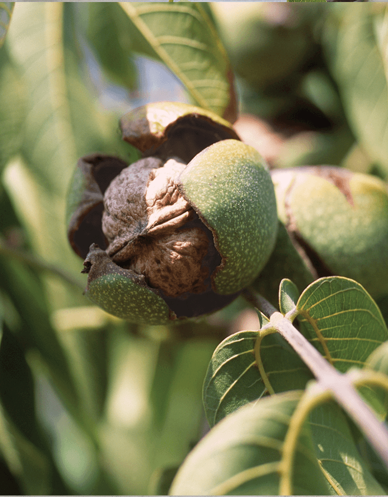 Nutrition in walnuts